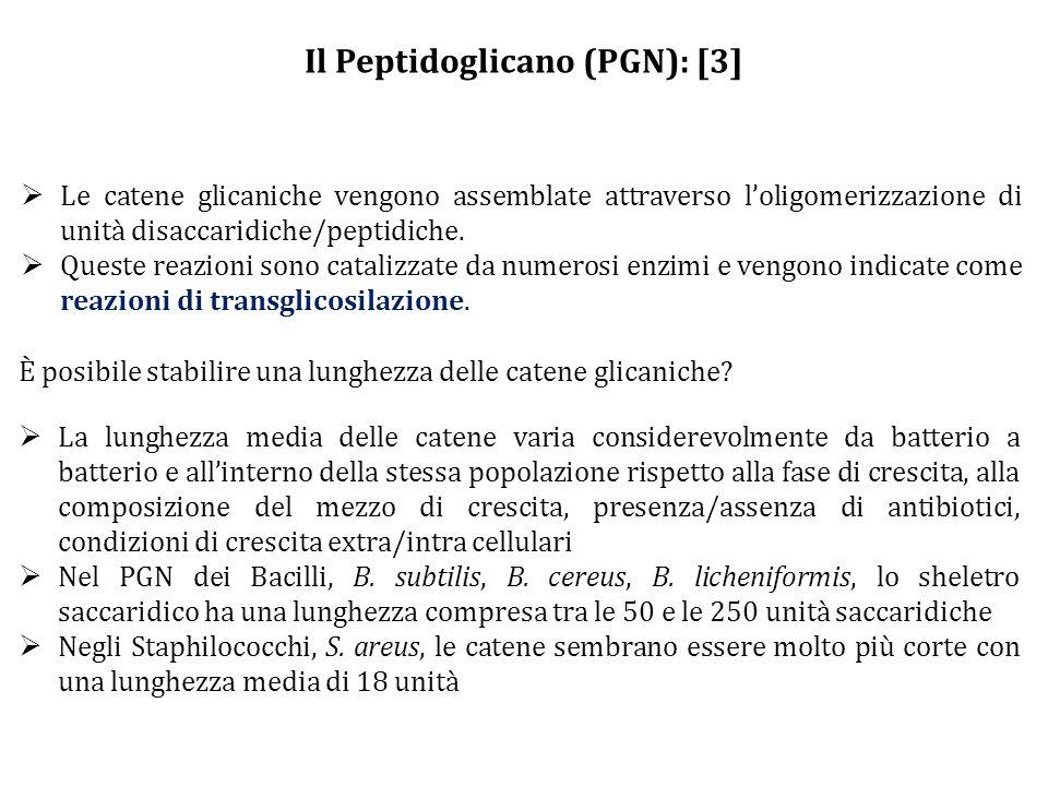 Il Peptidoglicano (PGN): [3]